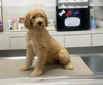 Small #29 Goldendoodle-Poodle (Standard) Mix