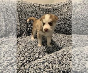 Siberian Husky Puppy for Sale in SUGAR HILL, Georgia USA
