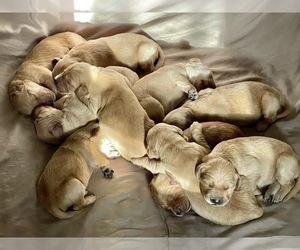 Golden Retriever Puppy for sale in CARTERSVILLE, GA, USA