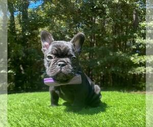French Bulldog Puppy for sale in LOCUST GROVE, GA, USA