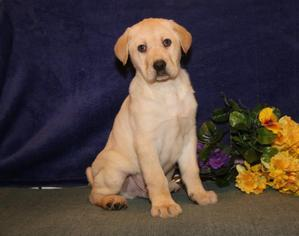 Labrador Retriever Puppy For Sale in NEW HOLLAND, PA, USA