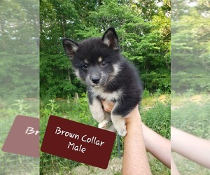 Pomsky Puppy for sale in PIKEVILLE, TN, USA