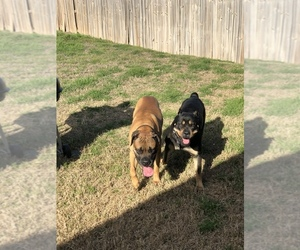 Bullmastiff-Cane Corso Mix Puppy for Sale in KILLEEN, Texas USA