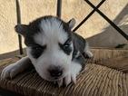 Siberian Husky Puppy For Sale in SYLMAR, CA, USA