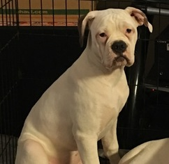 american bulldog price range view ad american bulldog puppy for sale north carolina 8584