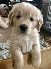 Golden Retriever Puppy For Sale in LIVONIA, MI, USA