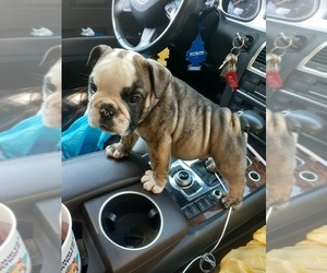 English Bulldog Puppy for Sale in BAY POINT, California USA