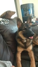 Reduced Female Sable German Shepard Puppy