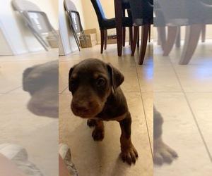Doberman Pinscher Puppy for sale in PHOENIX, AZ, USA