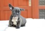 Beautifulrare French Bulldog puppies available