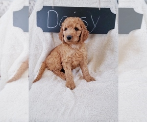 Goldendoodle Puppy for Sale in NORTH VERNON, Indiana USA