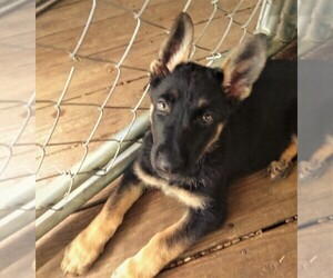 German Shepherd Dog Puppy for sale in RICHMOND, KY, USA