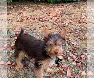 Yorkshire Terrier Puppy for Sale in HOMELAND, California USA