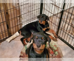 Rottweiler Puppy for sale in WINDHAM, NH, USA