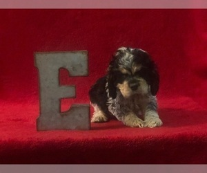 Cocker Spaniel Puppy for Sale in EDMOND, Oklahoma USA