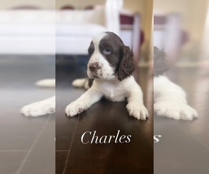 English Springer Spaniel Puppy for sale in BAYVIEW, TX, USA