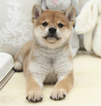 Shiba Inu Puppy For Sale in SAN JOSE, CA,