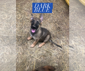 German Shepherd Dog Puppy for Sale in BEDFORD, Indiana USA