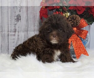 Poodle (Toy) Puppy for sale in FREDERICKSBG, OH, USA