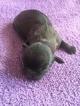 Shih Tzu Puppy For Sale in LAWRENCEVILLE, GA, USA