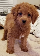 View Ad: Cavapoo Puppy for Sale near Virginia, FAIRFAX, USA