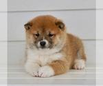 Puppy 4 Aussiedoodle-Goldendoodle Mix