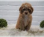 Small #1 Cocker Spaniel-Poodle (Miniature) Mix