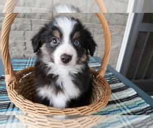 Australian Shepherd Puppy for sale in BLMGTN, IN, USA