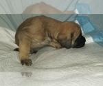 Small #42 Mastiff