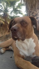 Bullboxer Pit Dog For Adoption in FONTANA, CA, USA