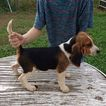 Beagle Puppy For Sale in BEDFORD, VA, USA