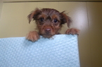 Yorkshire Terrier Puppy For Sale in PATERSON, NJ