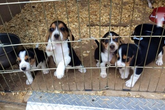 Beagle Puppy For Sale in GALLIPOLIS, OH, USA