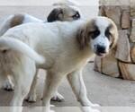 Small #838 Anatolian Shepherd-Maremma Sheepdog Mix