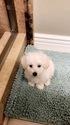 Maltese Puppy For Sale in BUENA PARK, CA,
