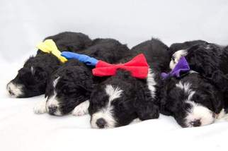 Bernese Mountain Poo Puppy For Sale in EAU CLAIRE, MI