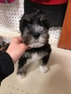 Schnauzer (Miniature) Puppy For Sale in KENT, OH, USA