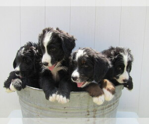Bernedoodle Puppy for sale in S BEND, IN, USA
