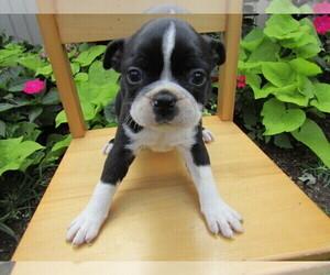 Boston Terrier Puppy for sale in LANSING, MI, USA