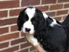 English Springer Spaniel Puppy For Sale in WAYNESBORO, TN, USA