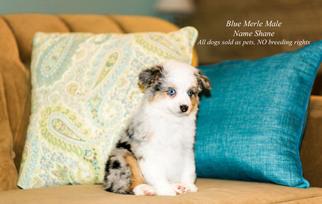 Australian Shepherd Puppy For Sale in CARLISLE, PA