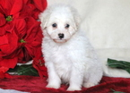 Bichpoo Puppy For Sale