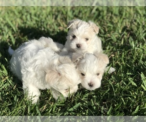 Morkie Puppy for sale in GULF BREEZE, FL, USA