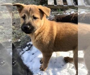 Chow Chow-German Shepherd Dog Mix Dog for Adoption in LAMBERTVILLE, Michigan USA