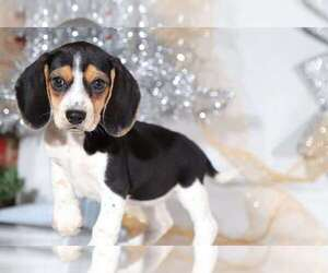 Beagle Puppy for sale in BEL AIR, MD, USA