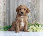 Small #3 Goldendoodle-Poodle (Miniature) Mix