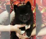 Puppy 4 Alaskan Klee Kai