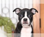 Small #1 Boston Terrier
