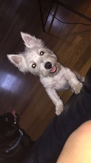 West Highland White Terrier Puppy For Sale in ELM CITY, NC