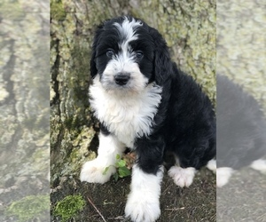 Miniature Bernedoodle Puppy for Sale in LEO, Indiana USA